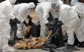 Dịch cúm gia cầm đang bùng phát  dữ dội tại Châu Âu.