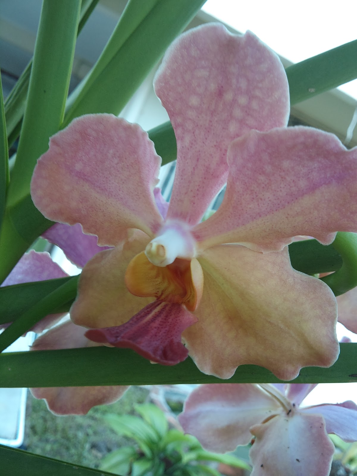 I Live In Kk Orchid Growing On Mango Tree