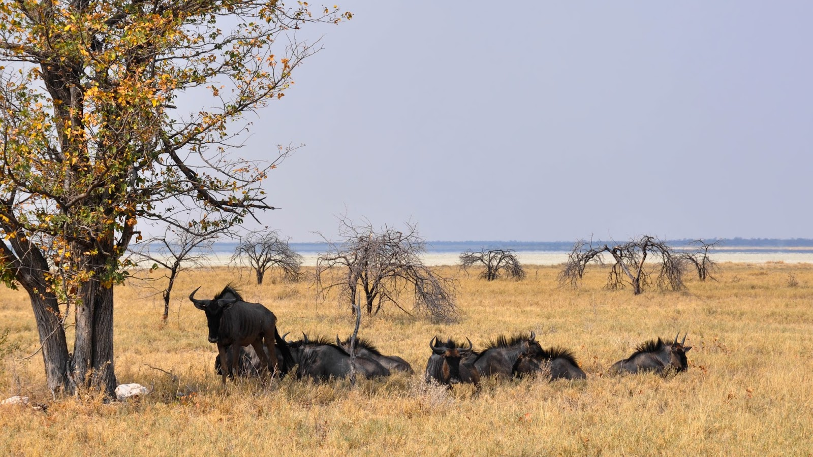 Picture of wildebeest resting from hot savanna heat.
