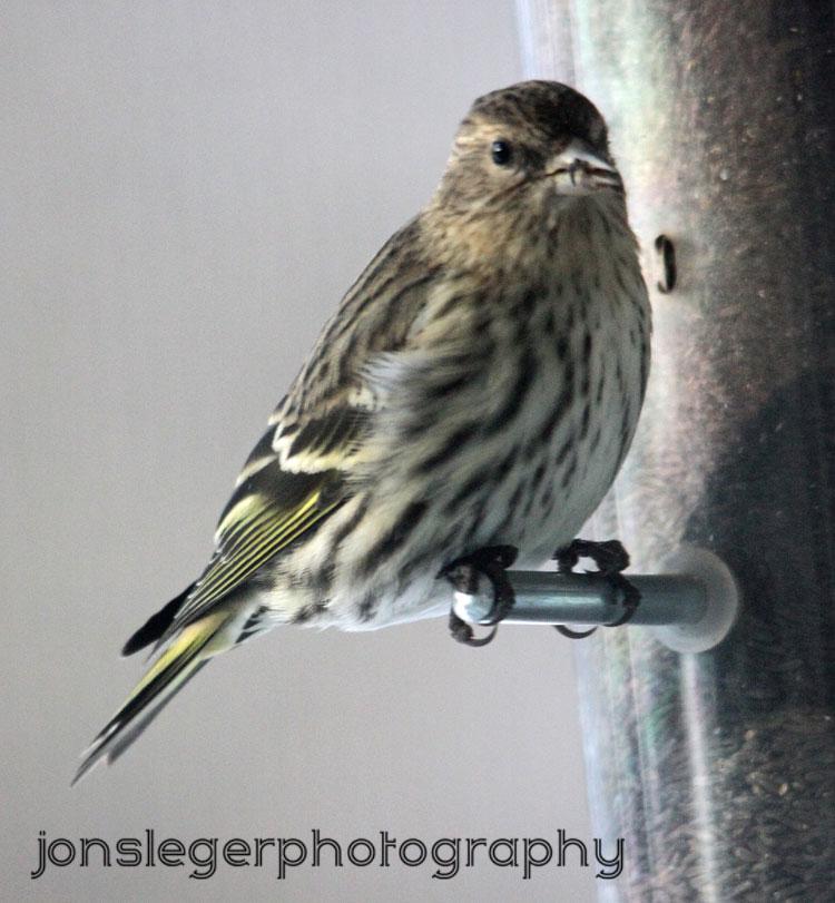 Northern Illinois Birder: 1st pics of Winter birds of 2012 ...