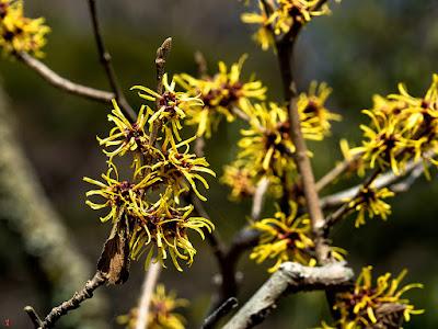 Mansaku (amamelis japonica) flowers: Engaku-ji