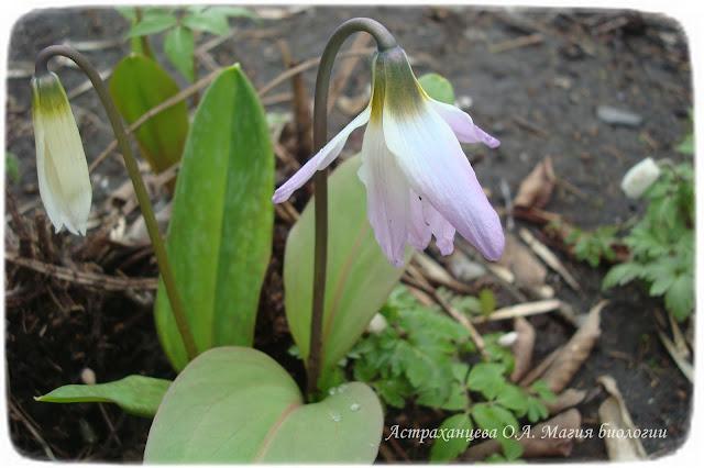 zagadki-pro-vesennie-cvety-podsnezhnikikandyk-sibirskij