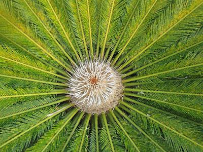 Roseta de hojas de Cyca revoluta