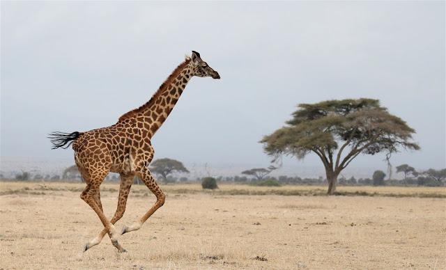 Resultado de imagem para cachorro correndo atras de rinoceronte