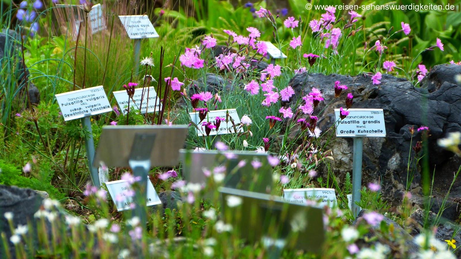 Grosse Kuhschelle und Gewöhnliche Kuhschelle im Botanischen Garten