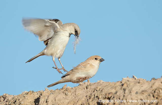 The Desert Sparrow Project