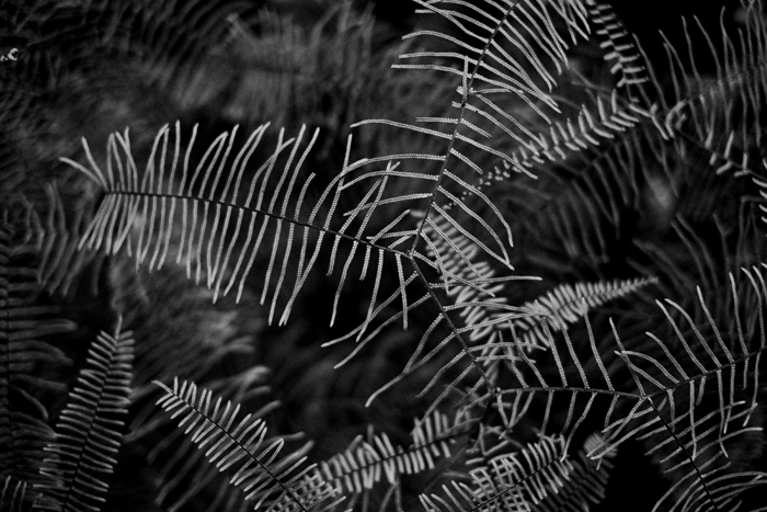 black and white fern photo