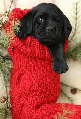 Imagen cachorro labrador en bota navidad