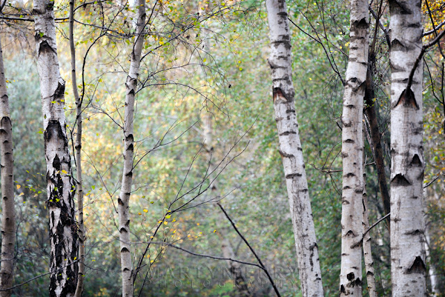 Natural England woodland of silver birch trees at Holme Fen
