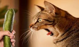 Sangat Bahaya! Inilah Kenapa Kucing Takut Mentimun