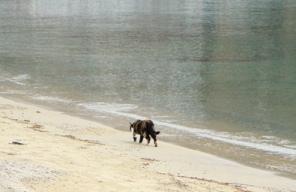 grecki bury kot spaceruje po brzegu morza