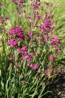 Silene viscaria 'splendens' - Lychnis viscaria 'splendens'
