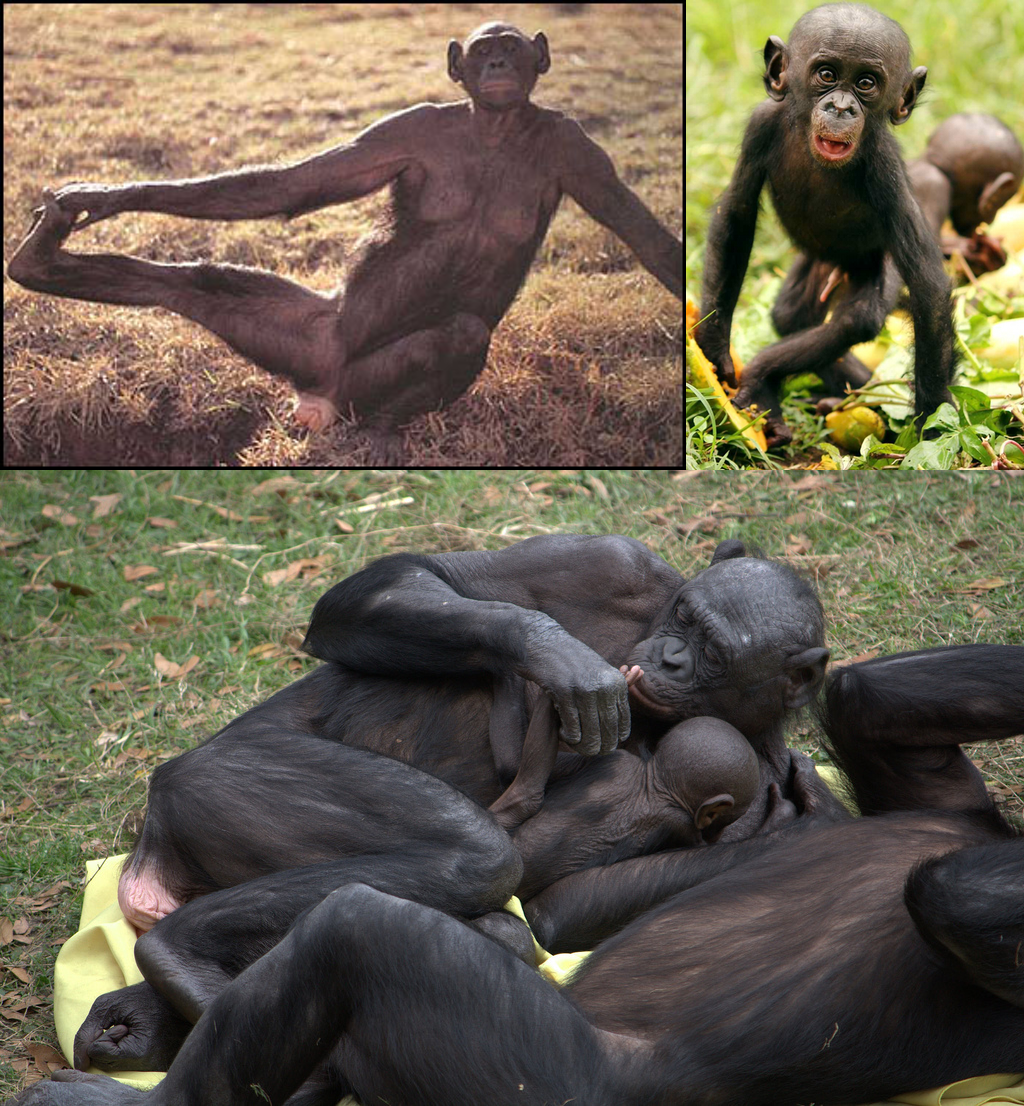 Are Western Chimpanzees A New Species Of Pan