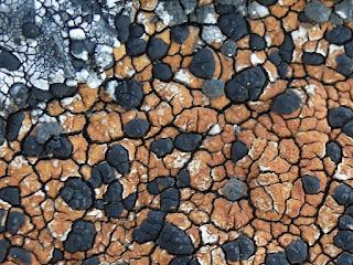 Lécidée mosaïque - Lecidea tessellata