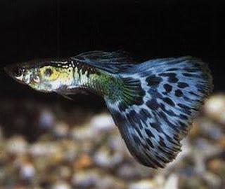 أسماك الطاووس الصينية الرائعة الجمال سبحــــــان الله image01514-738567.jp
