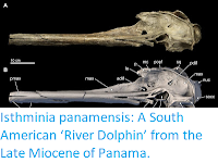 http://sciencythoughts.blogspot.co.uk/2015/09/isthminia-panamensis-south-american.html