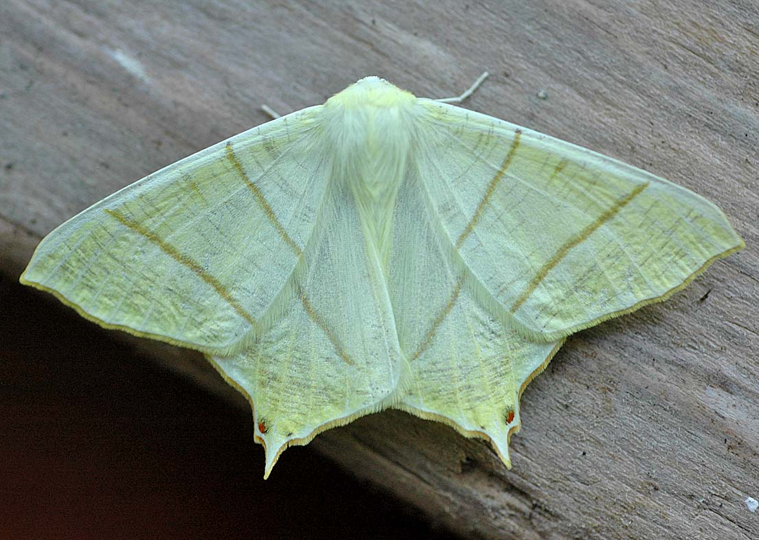 Swallow Tail Moth 75