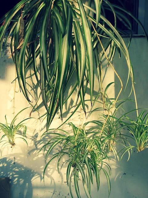 Cara Budidaya Tanaman Spider Plant Gantung Tanpa Media Tanam