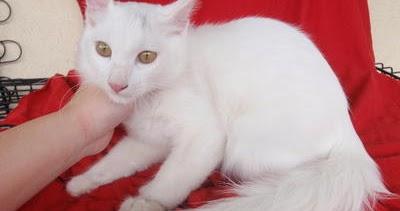 Kucing Persia Kawin Sama Kucing Kampung Lokal Info Terkini