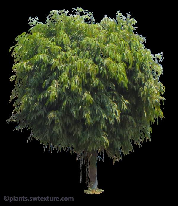 Ficus Maclellandii Image Resolutioan 600x690 Px