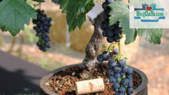 Anggur merupakan tanaman pembawa kekayaan menurut Islam