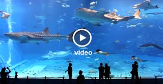 Okinawa Churaumi - Kuroshio Sea - Video