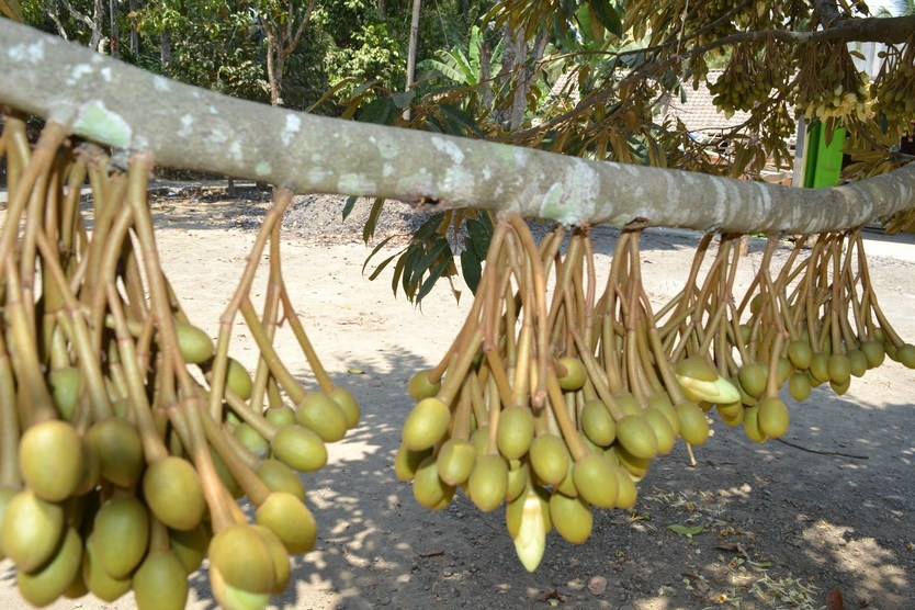 ciri ciri buah durian yang baik dari bunga buah durian