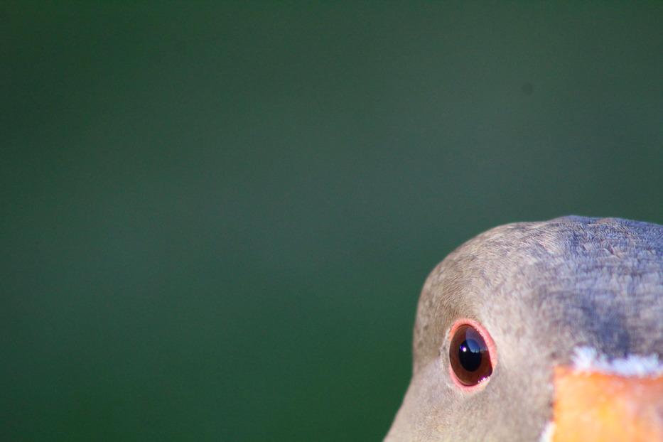 A goose's eye