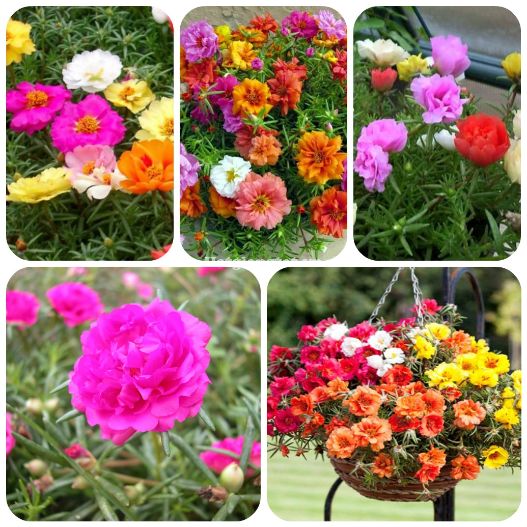 Image result for Hoa Mười giờ Mỹ