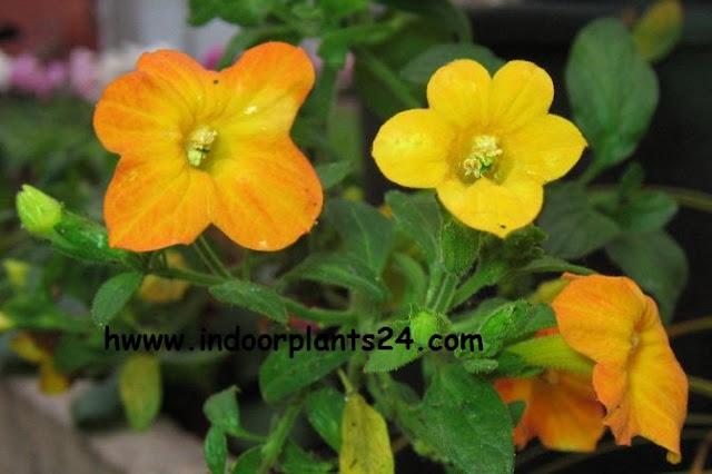 Streptosolen Jamesonii Plant [Marmalade bush] image
