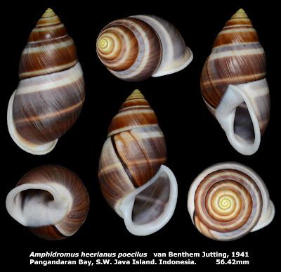 Amphidromus heerianus poecilus 56.42mm