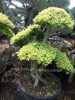 bonsai legistrum kuning