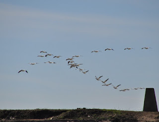 flying flock of large white pelicans