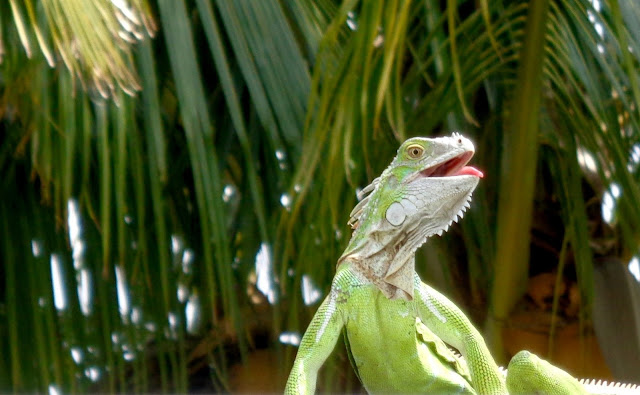 Green iguana on patio roof