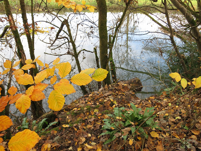 Leaves - golden for autumn - beside a river