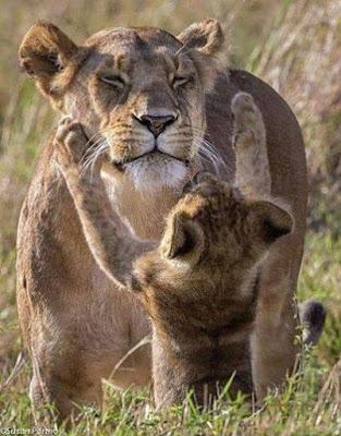 fotografias de leones, leonas y cachorros