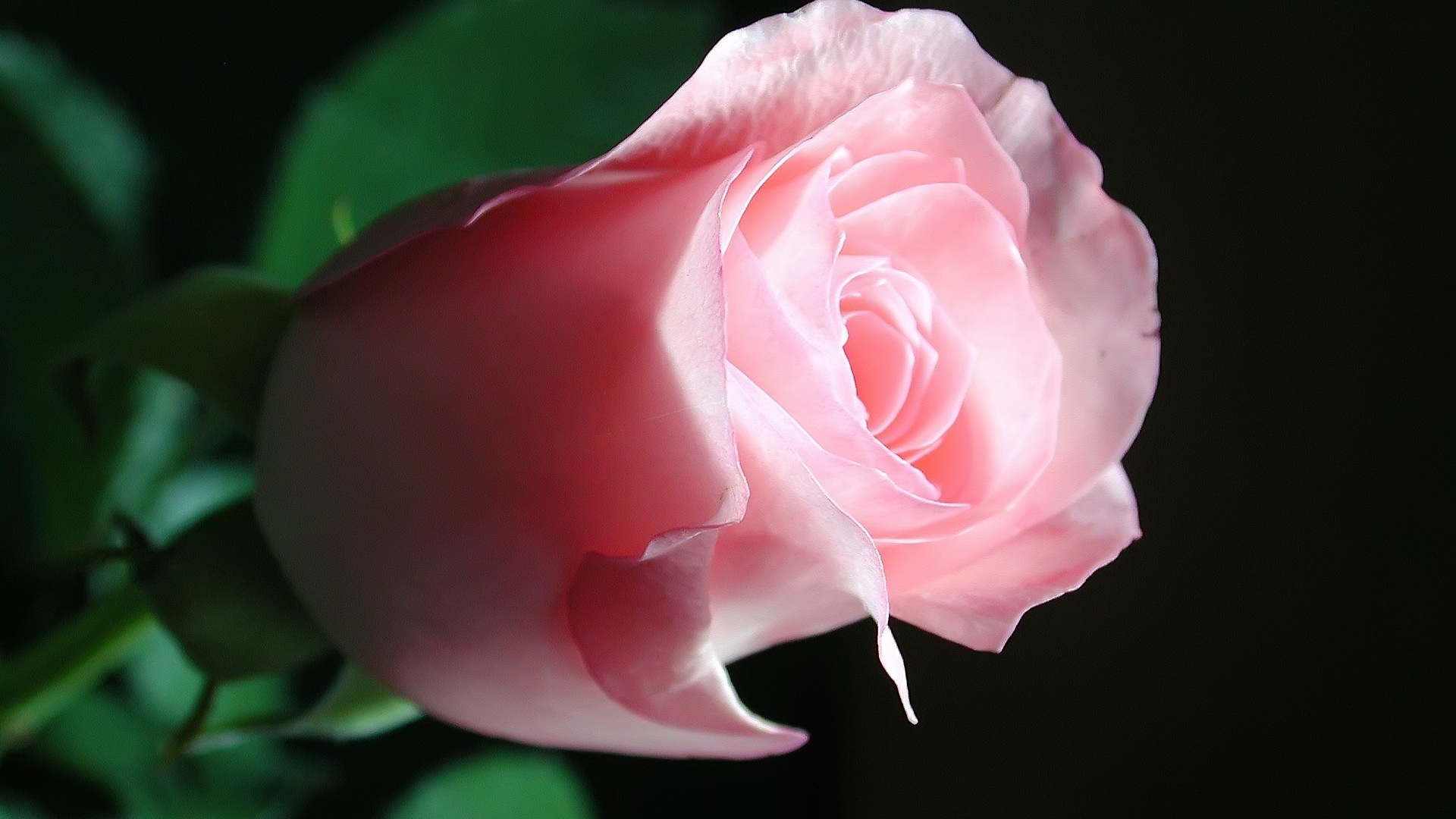 Beautiful Pink Rose - High Definition Wallpapers - HD wallpapers