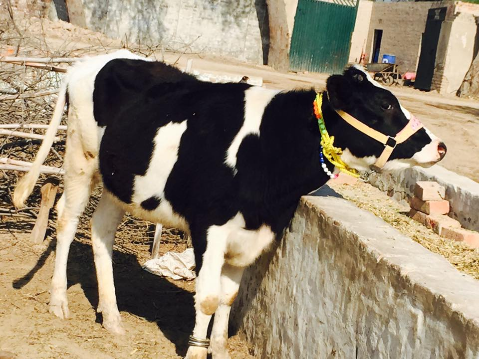 20 Friesian Cows for SALE | Cross Breed | 10 - 24 Months | 6