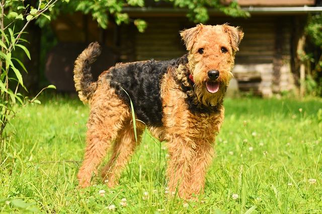 Đánh giá chó Airedale Terrier