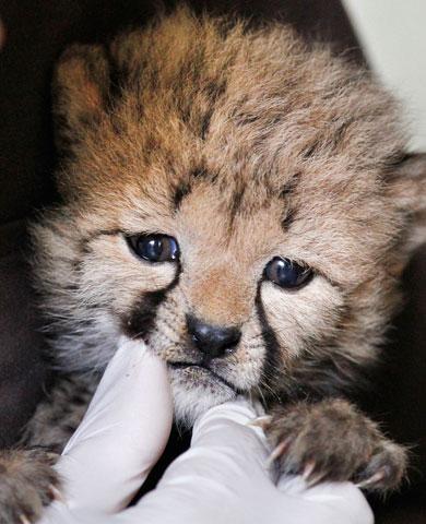 White Wolf : Hand-Raising Cheetah Cubs After Rare Birth ...