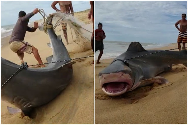 https://vnoticia.com.br/noticia/3528-video-pescadores-capturam-tubarao-no-litoral-de-sjb