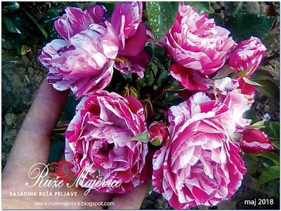 Proljetnje cvjetanje  ruže koju smo posadili u jesen