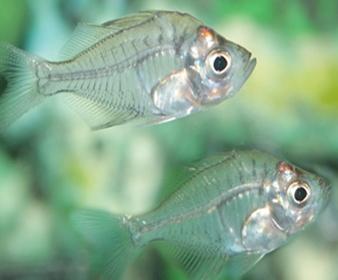 Ikan Kaca, Ikan Transparan disebut juga Glass Fish
