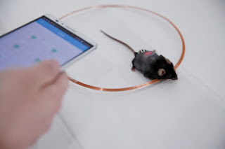 Against diabetes, cells controlled by the phone The researchers used engineered cells and activated at a distance from an application on your smartphone to control your blood sugar in diabetic mice.