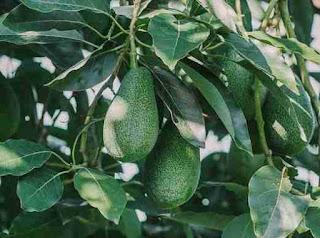 Αβοκάντο καλλιέργεια