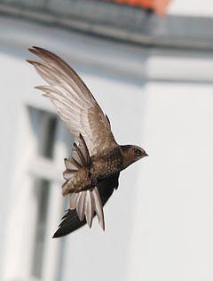 Čiopa ptica