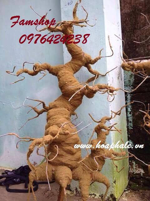 Goc bonsai mai dao the doi o Nguyen Dinh Chieu