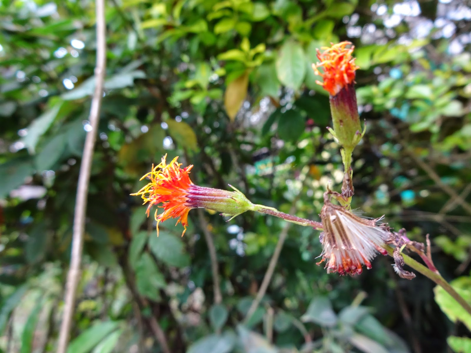 Herbs From Distant Lands Gynura Procumbens Sabungai