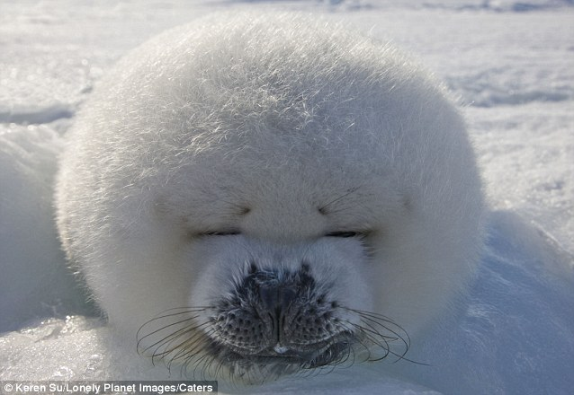 Cute!: Harp Seal Pup!