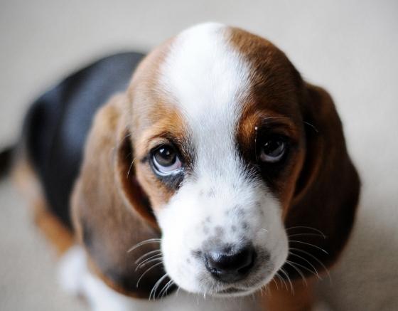 Dog Wallpaper Cute Sad Puppy Dog Eyes Free Download Wallpaper